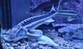 Евпаторийский аквариум Осетровые