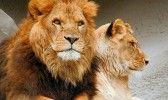 Сафари парк Тайган львы